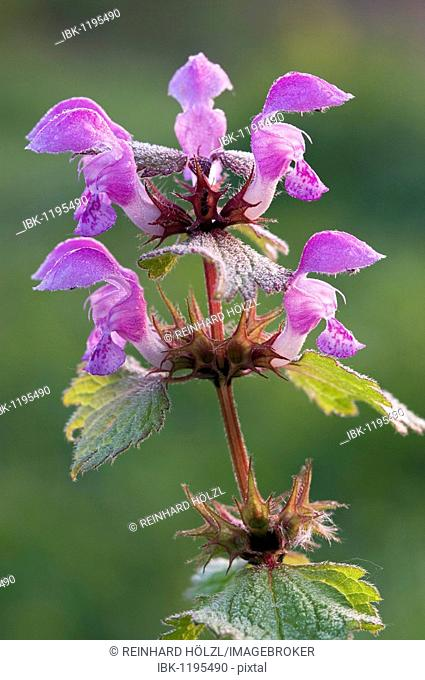 Spotted White Deadnettle (Lamium maculatum), Pielach near Loosdorf, Upper Austria, Europe