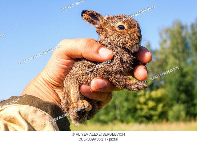 Close up of male hand holding up tiny juvenile rabbit