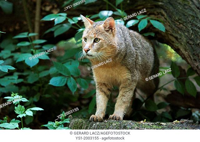 Jungle Cat, felis chaus, Adult