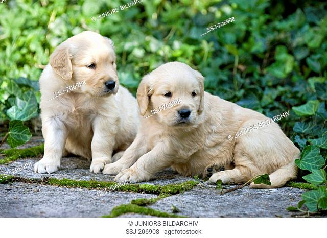 Golden Retriever. Pair of puppies (4 weeks old) sitting next to each other on a garden path. Germany
