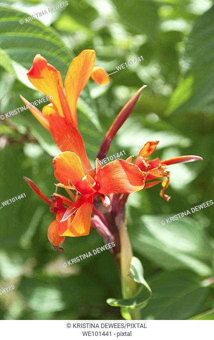 A bright red Canna bloom being backlit by the sun