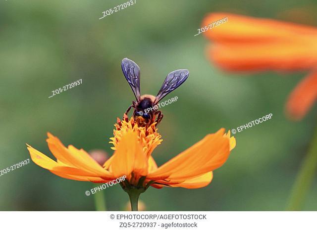 Bee on orange flower, Pune, Maharashtra, India