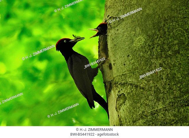 black woodpecker (Dryocopus martius), at breeding cave, feeding a chick, Germany, Rhineland-Palatinate, Westerwald