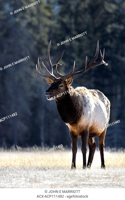Bull elk, Jasper National Park, Alberta, Canada