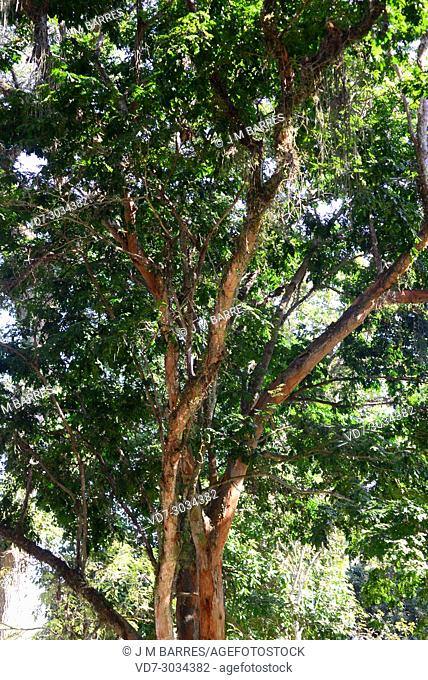 Brazilwood or Pernanbuco tree (Paubrasilia echinata or Caesalpinia echinata) is the national tree of Brazil. This photo was taken in Rio de Janeiro, Brazil