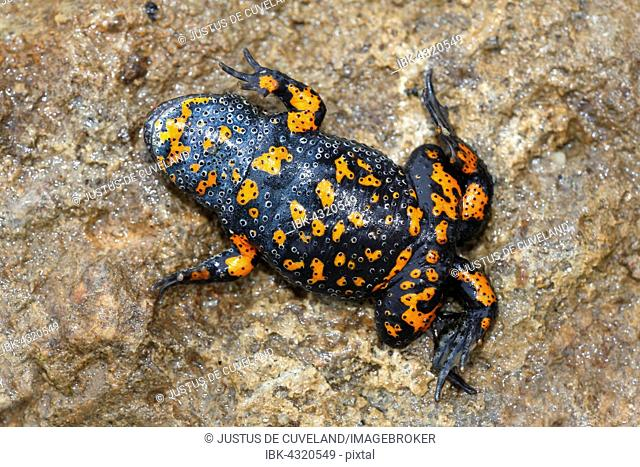 European fire-bellied toad (Bombina bombina) lying in shock position on the back, showing red warning coloration on ventral side, Lake Balaton, Hungary