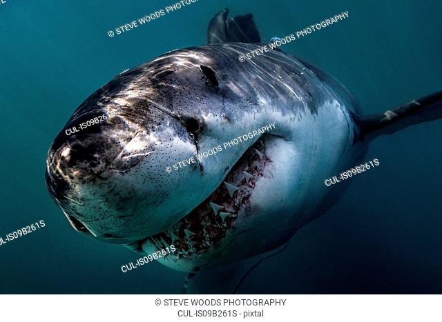 Great White Shark (Carcharodon Carcharias) swimming directly at camera, Gansbaai, South Africa
