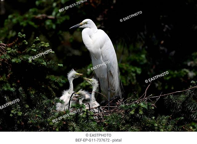 an adult egret and two little egrets