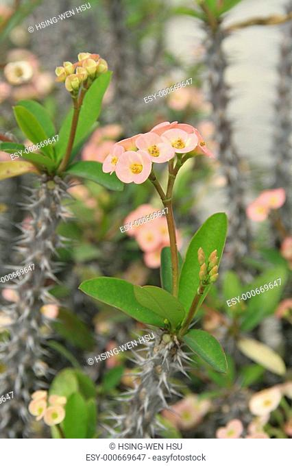 "Euphorbia - ""crown of thorns"" plant"
