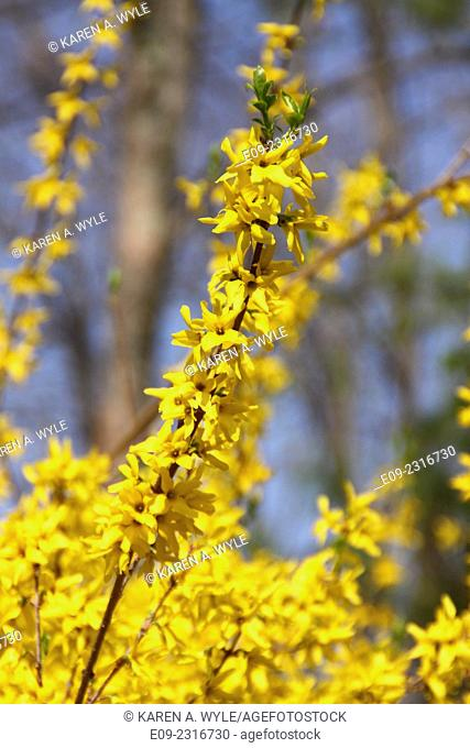 forsythia blooming in Monroe County, Indiana