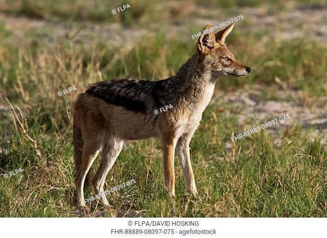 Black Backed Jackal - Botswana