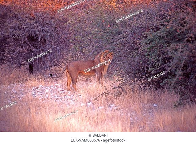 Lion, Etosha park, Namibia