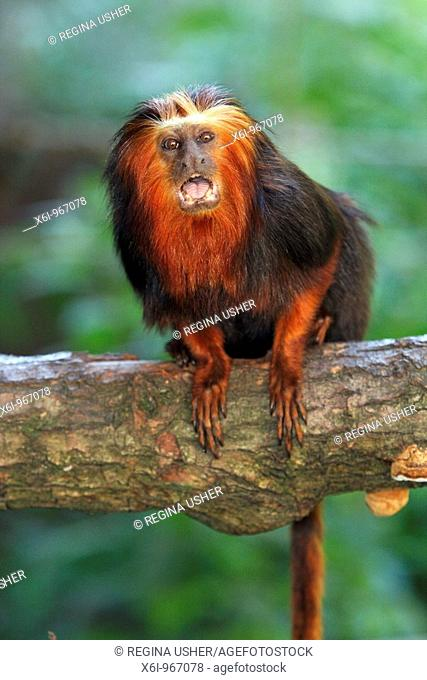 Golden-headed Lion Tamarin Leontopithecus chrysomelas, portrait