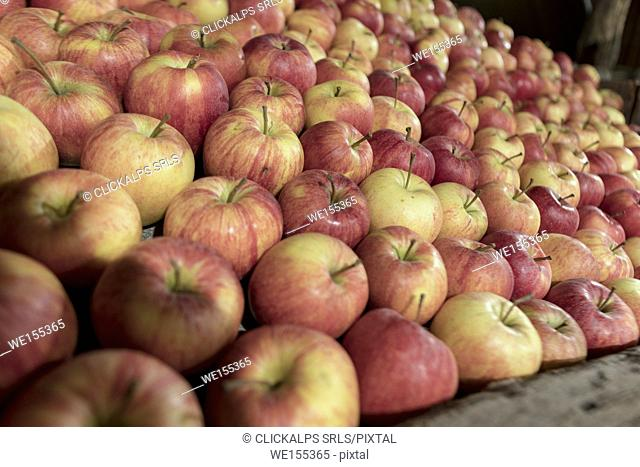 The tasty and healthy apples of Valtellina Lombardy Italy Europe