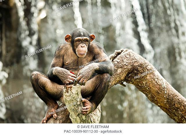 China, Guangdong Province, Guangzhou Zoo, Common Chimpanzee Pan troglodytes on tree branch