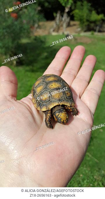 Red-footed tortoise (Chelonoidis carbonaria) is a species of tortoises from northern South America