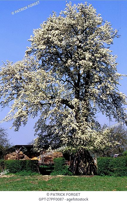 FLOWERING PEAR TREE, EURE 27, NORMANDY, FRANCE
