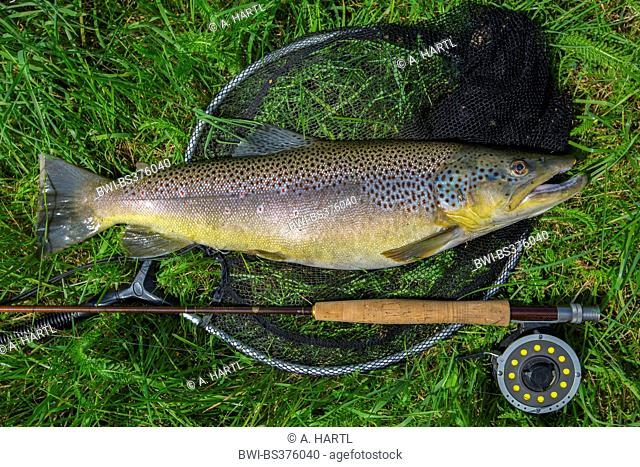 brown trout, river trout, brook trout (Salmo trutta fario), caught by fly fishing, Germany, Bavaria