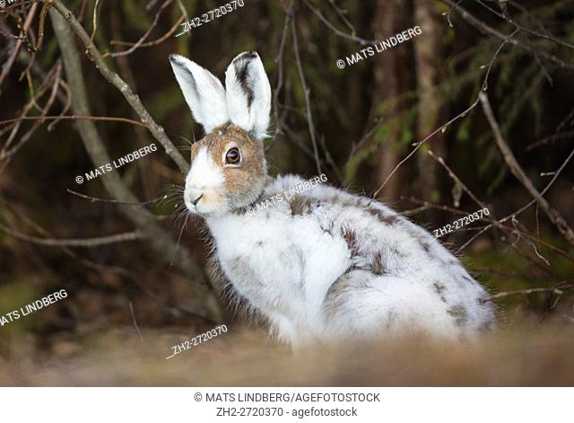 Mountain hare sitting and looking in to the camera, Gällivare, Swedish Lapland, Sweden