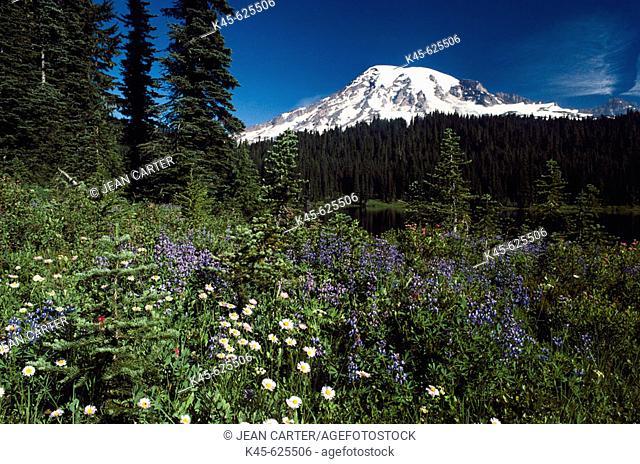 Mt. Rainier with wildflowers in spring, Paradise Park. Washington, USA