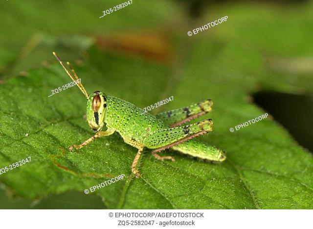 Grasshopper, Aarey Milk Colony, India