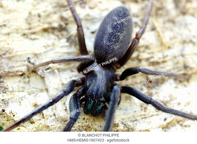 France, Pyrenees Atlantiques, Araneae, Segestriidae, Tube web spider or Cellar spider (Segestria florentina)