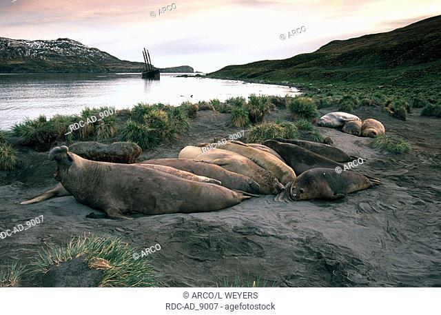 Southern Elephant Seals resting Hercules Bay South Georgia Mirounga leonina
