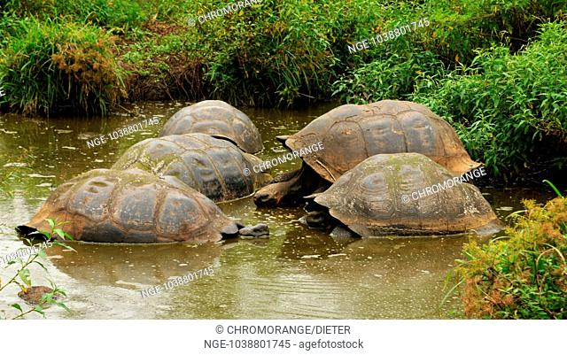 Giant tortoises in the water