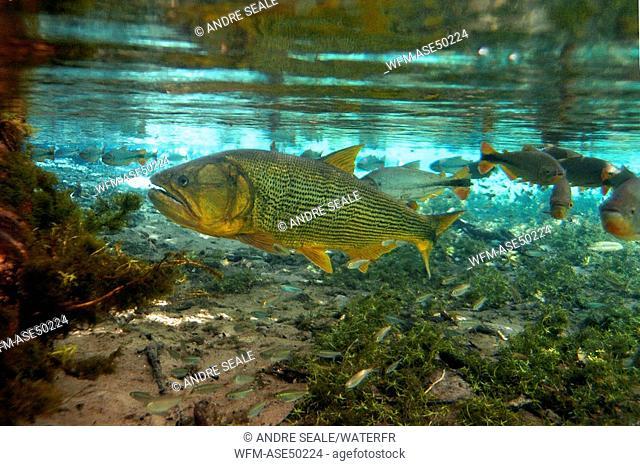 Dourado, natural freshwater spring preserve, Salminus brasiliensis, Aqu rio natural, Bonito, Mato Grosso do Sul, Brazil