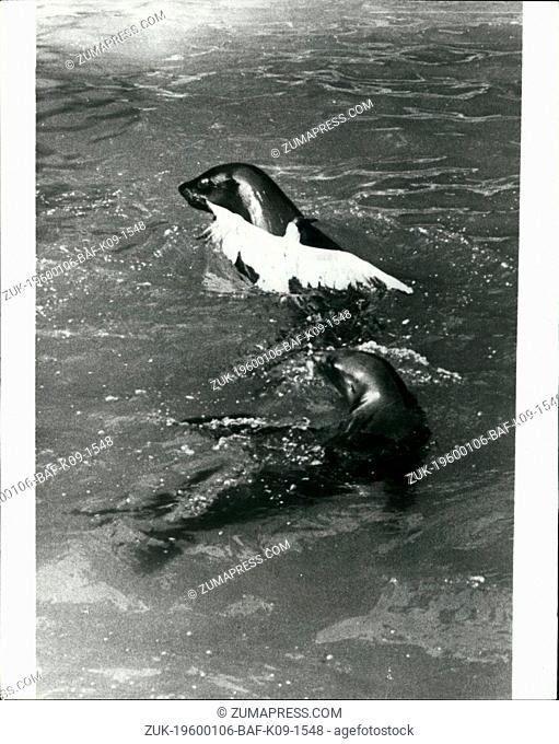 1967 - Drama Zoo: Visitors to Copenhagen Zoo witnessed a thrilling drama, when a sea lion caught a seagull that was stealing his fish