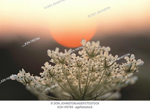 Sunrise over Queen Anne's Lace flower