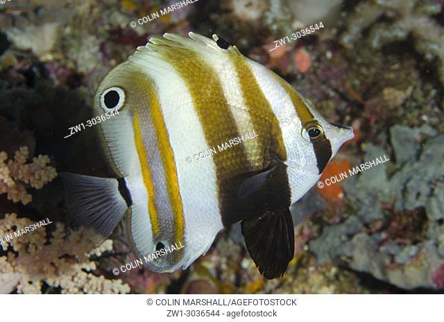 Two-eyed Coralfish (Coradion melanopus), Yilliet Kecil dive site, Yilliet Island, Misool, Raja Ampat, West Papua, Indonesia