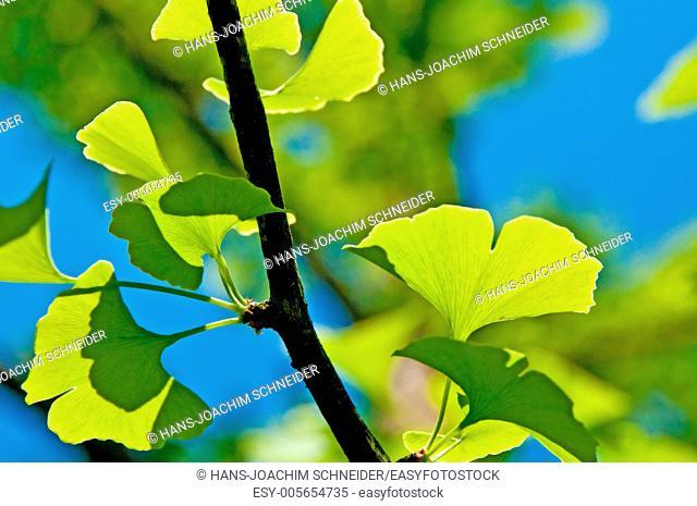 Ginkgo leafes
