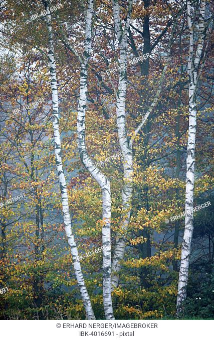 Birch trees (Betula pendula) and Beech trees (Fagus sylvatica) in autumn, Emsland, Lower Saxony, Germany