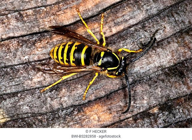 tree wasp Dolichovespula sylvestris, male sitting on dead wood, Germany