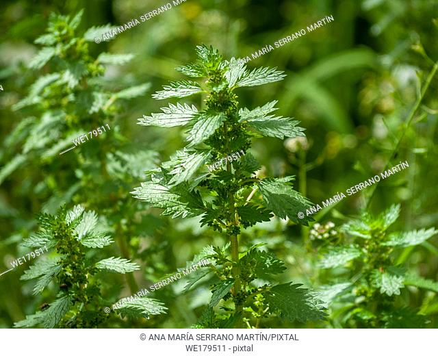 Nettle plants (Urtica dioica) in spring with a bokeh background