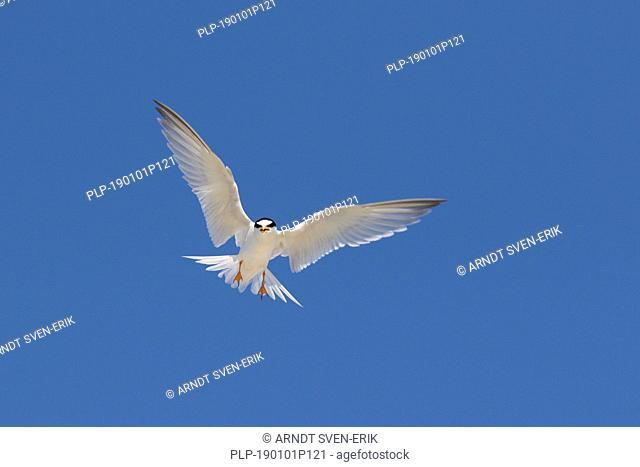 Banded little tern (Sternula albifrons / Sterna albifrons) calling in flight against blue sky