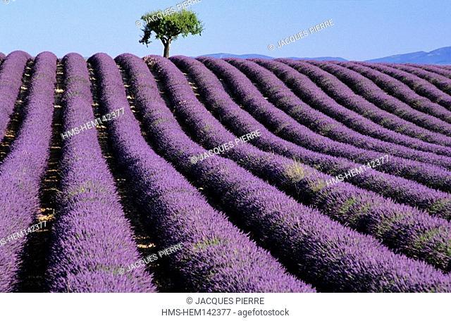 France, Alpes de Haute Provence, Verdon Regional Natural Park, Valensole Plateau