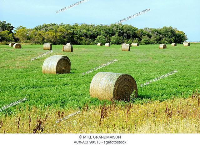 Alfalfa bales Yellow Grass Saskatchewan Canada