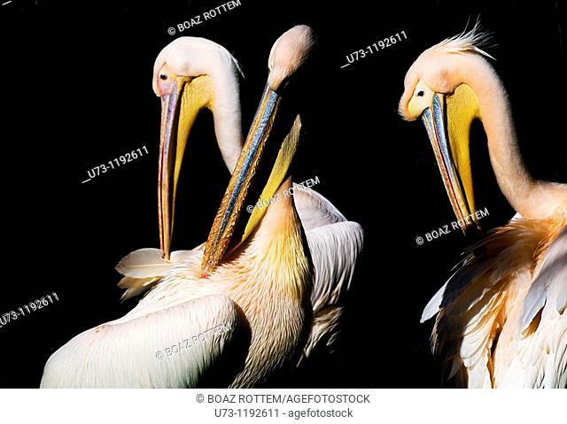 Colorful Pelicans