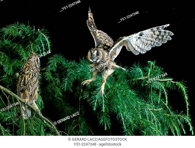 Long-Eared Owl, asio otus, in Flight, Normandy