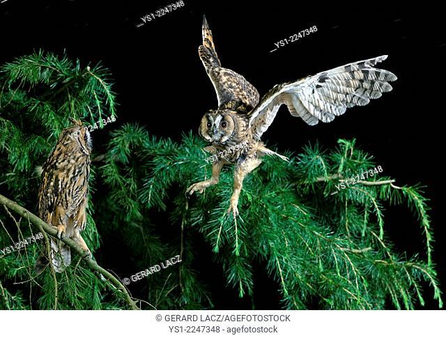 Long-Eared Owl, asio otus, in Flight, Normandy