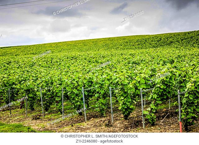 Champagne grape vines in the Reims area of France