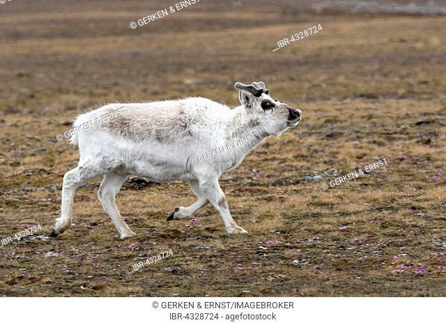 Svalbard reindeer (Rangifer tarandus platyrhynchus), Spitsbergen, Svalbard, Norway