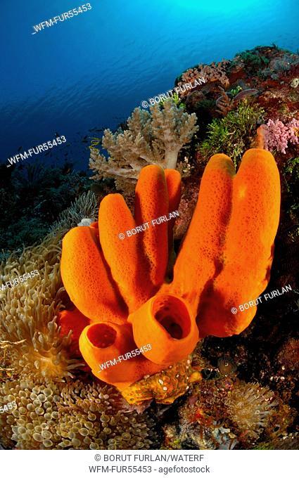 Red Tube Sponge in Coral Reef, Porifera, Alor, Indonesia