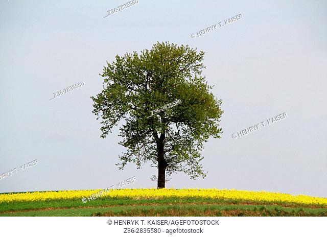 Lonely tree at spring
