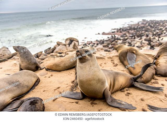 Cape Cross, Namibia, Africa - Cape Fur Seals (pinnipedia) on the Seal reserve of the Skeleton Coast