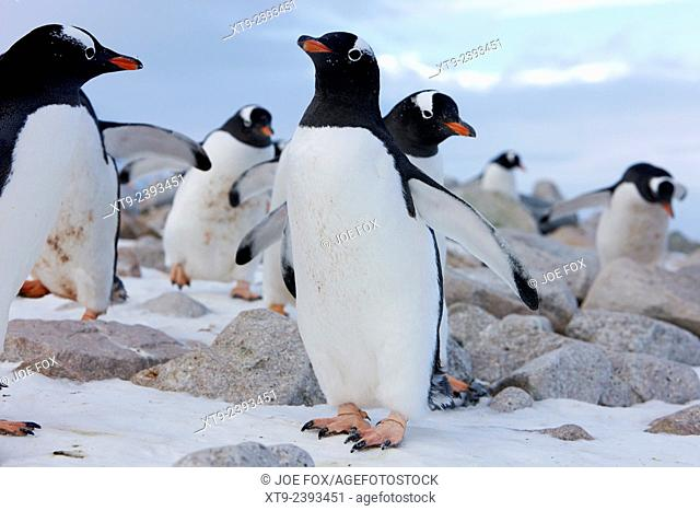 gentoo penguins marching in line through rocky terrain Neko Harbour Antarctica
