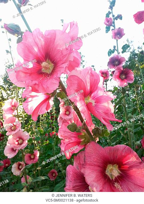 Close-up of pink Hollyhock flowers