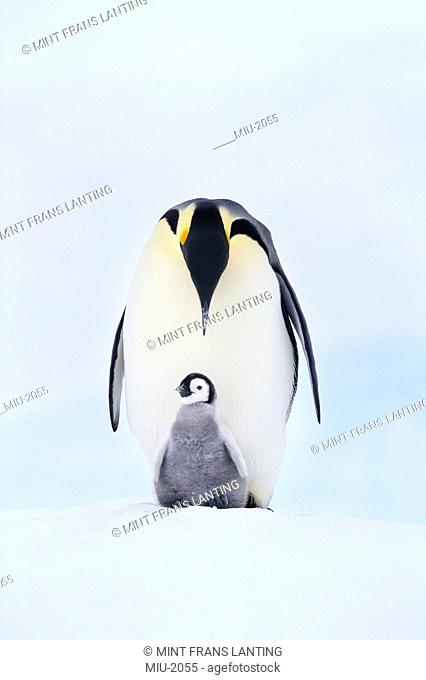 Emperor penguin, Aptenodytes forsteri, with chick in Antarctica